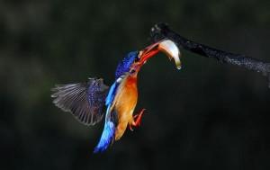 kingfish9